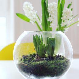Wir holen uns mal ein bisschen Grün ins Haus – Hyazinthen im Glas