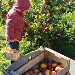 Apfelernte mit Kindern – Ausflug ins alte Land